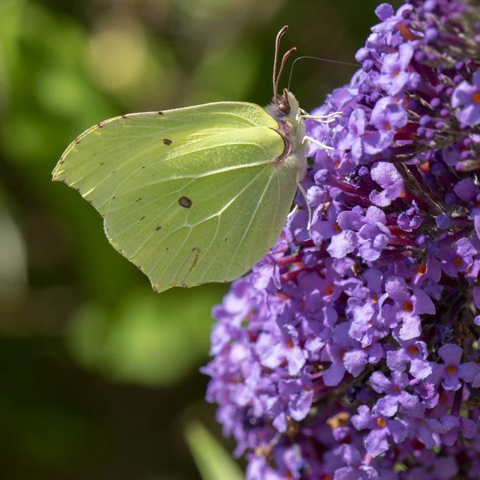 Zitronenfalter (Gonepteryx rhamni) auf Schmetterlingsflieder