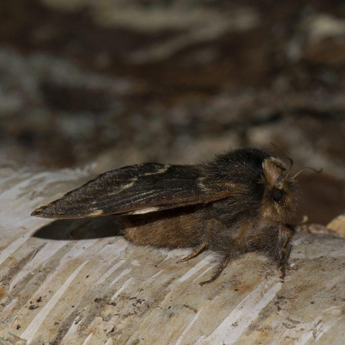 Kleine Pappelglucke (Poecilocampa populi) auf Birke