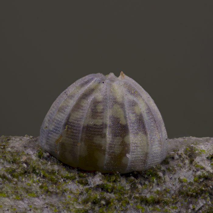 Weißdorneule (Allophyes oxyacanthae) Ei auf Schlehe