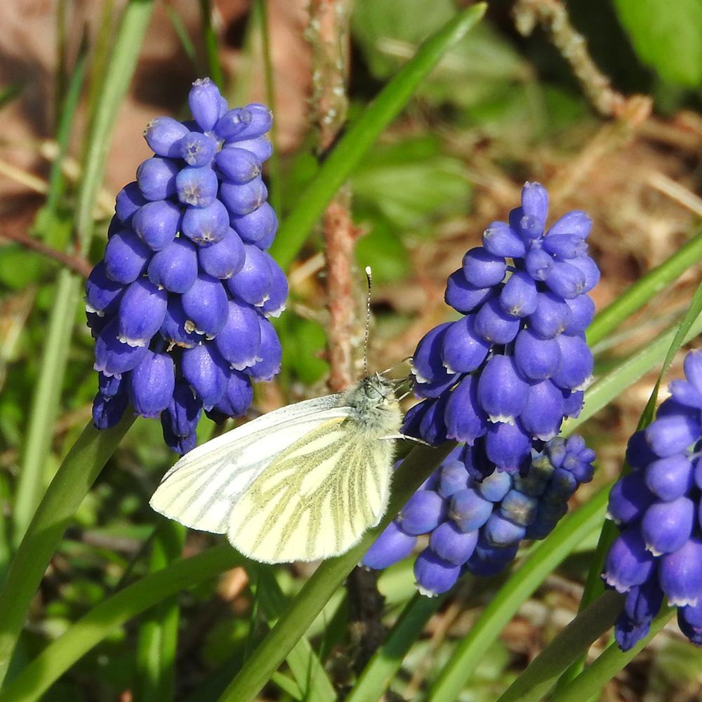 Grünader-Weißling auf Traubenhyazinthe