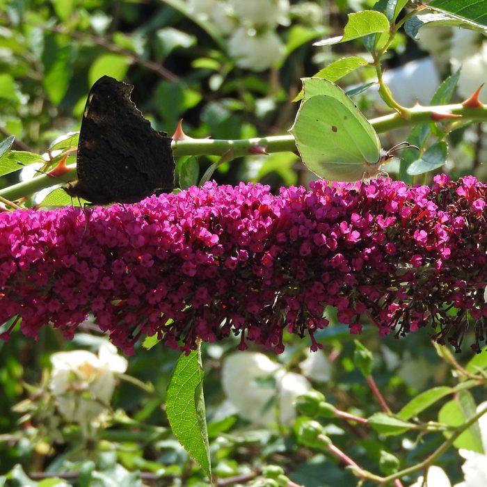 Tagpfauenauge und Zitronenfalter auf Schmetterlingsflieder