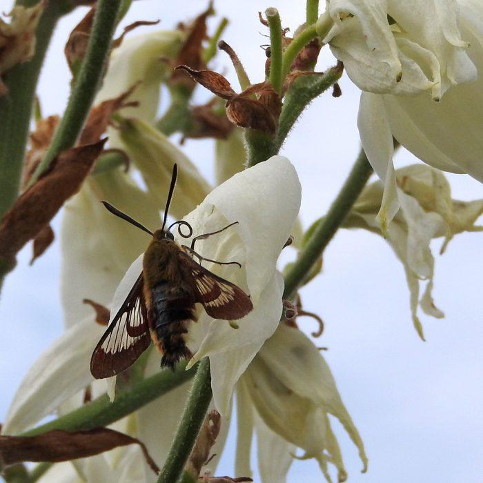 Hummelschwärmer auf Yuccablüte