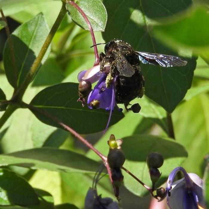 Blaue Holzbiene auf Losbaum