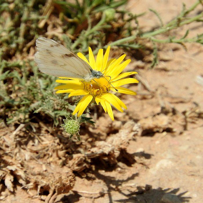 Checkered White Butterfly auf Wildblume (Crocket Co., Texas)