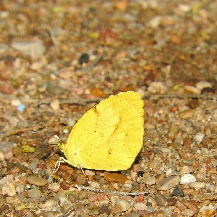 Sleepy Orange (Eurema nicippe) am Boden (Pecos Co., Texas)