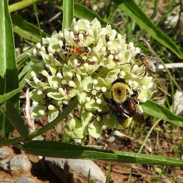 Hummel und Bienen auf Asclepiadaceae (Comanche Co., Oklahoma)