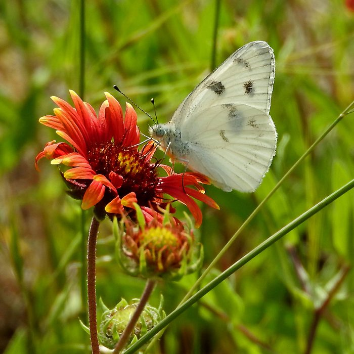 Checkered White Butterfly auf Kokardenblume (Shakelford Co., Texas)