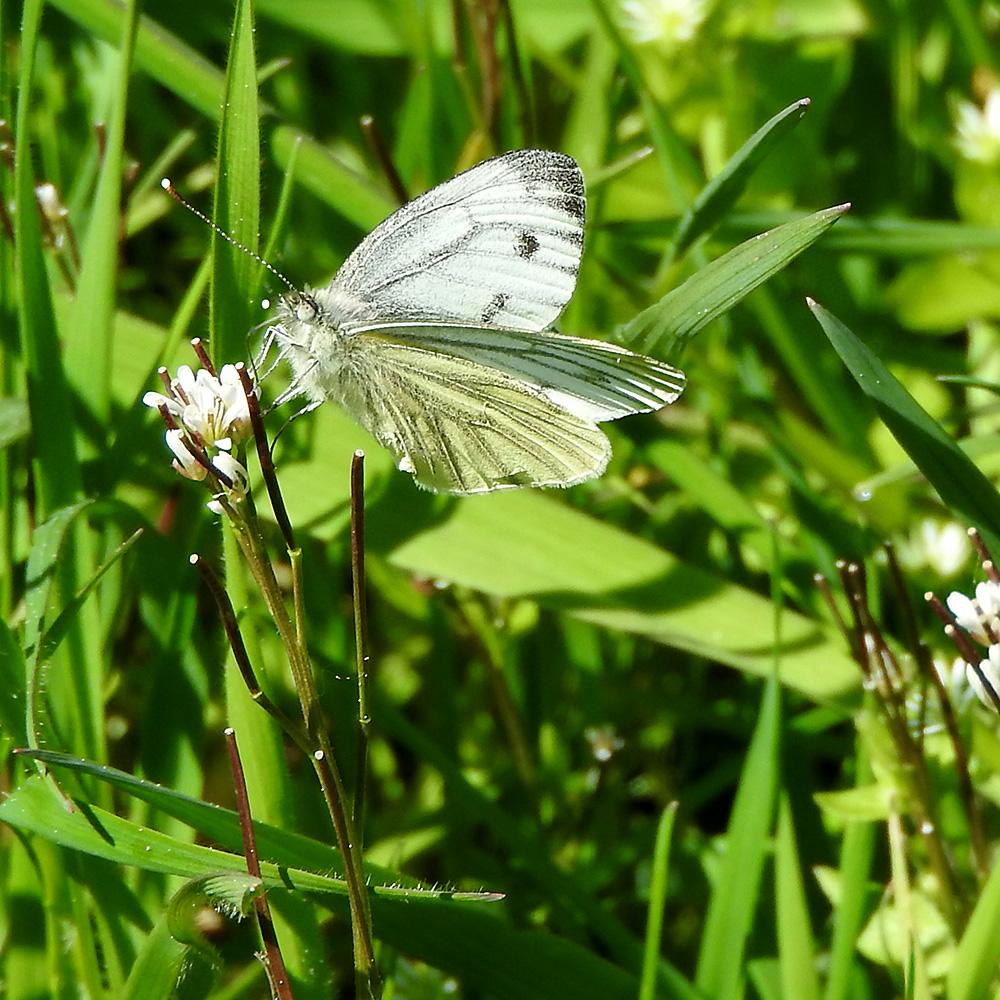 Grünader-Weißling auf Gartenschaumkraut