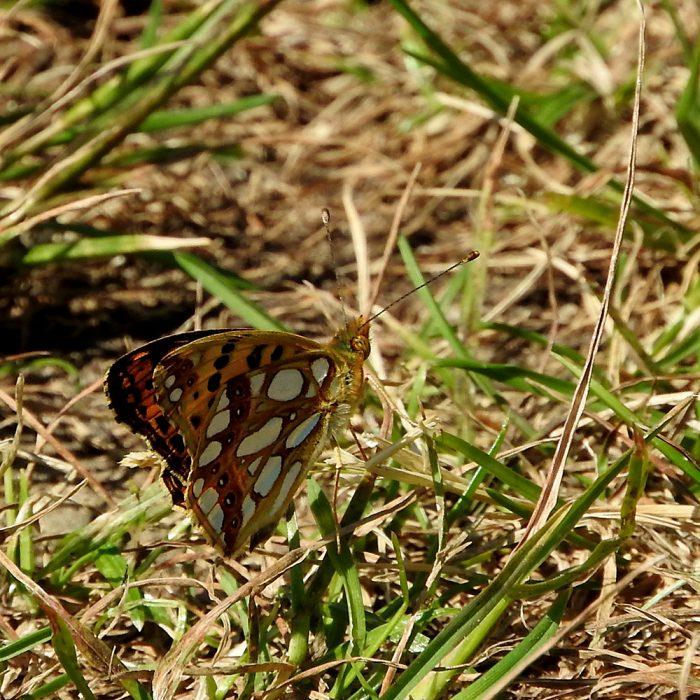 Kleiner Perlmutterfalter auf Gras