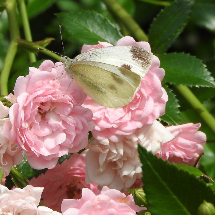 Kleiner Kohlweißling auf Rose