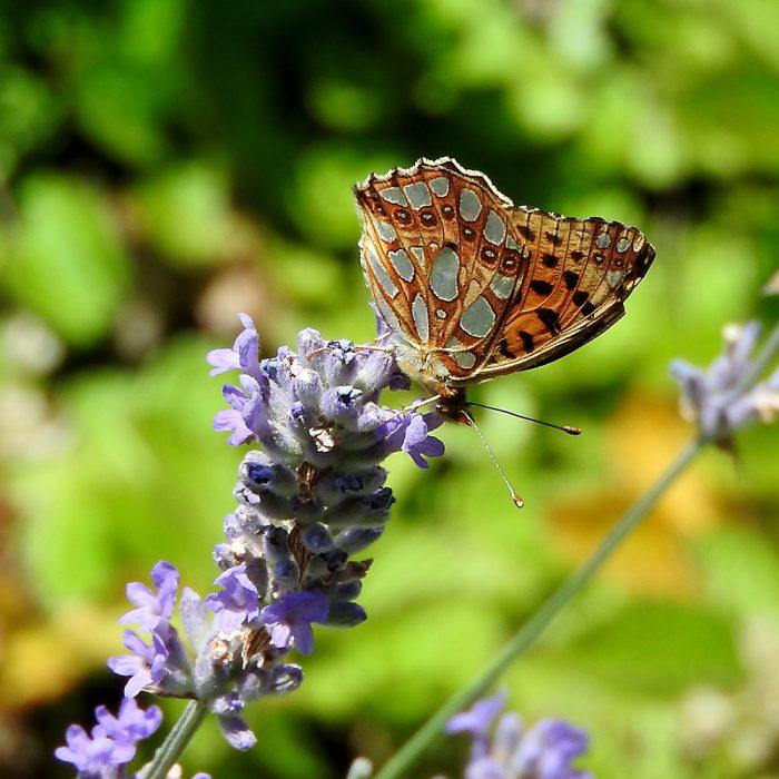 Kleiner Perlmutterfalter auf Lavendel