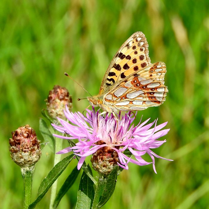 Kleiner Perlmutterfalter auf Flockenblume