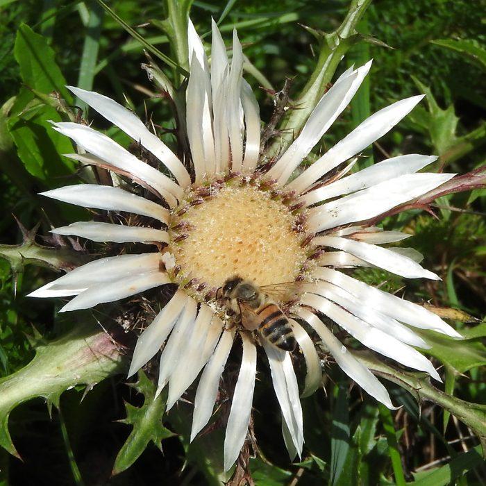 Biene auf Silberdistel