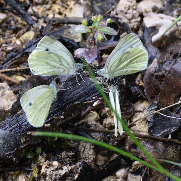 Grünader-Weißling auf Waldboden