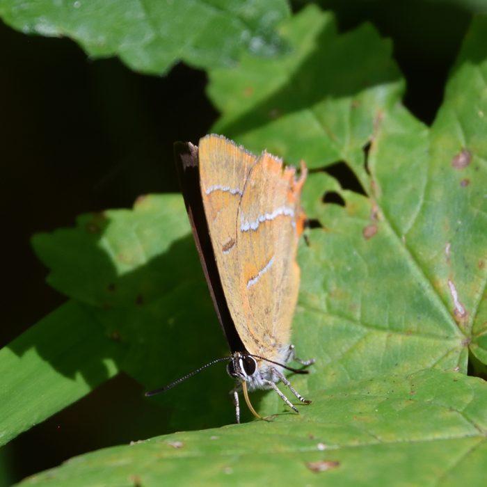 Nierenfleck-Zipfelfalter im Wald