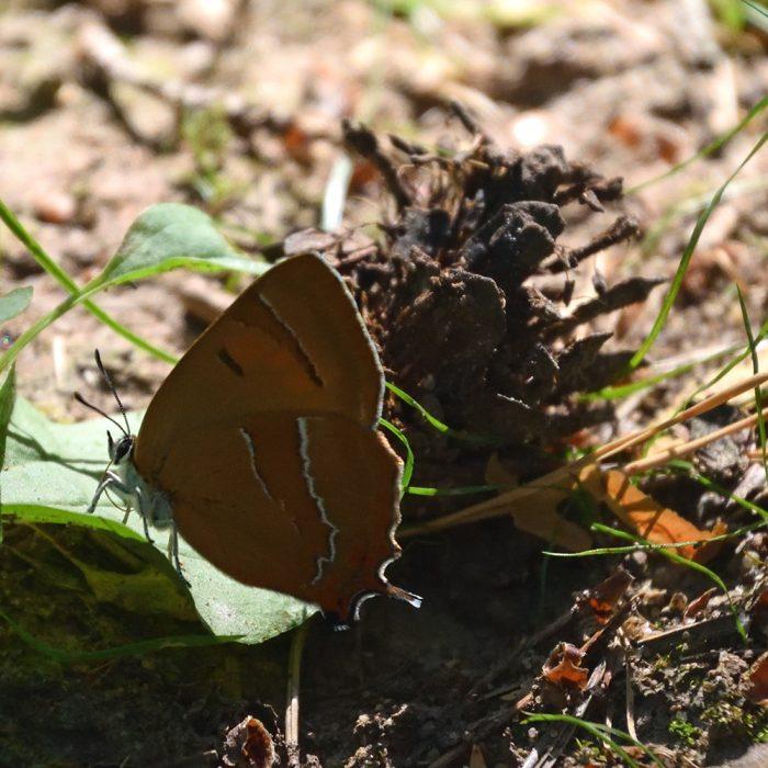 Nierenfleck-Zipfelfalter am Waldboden