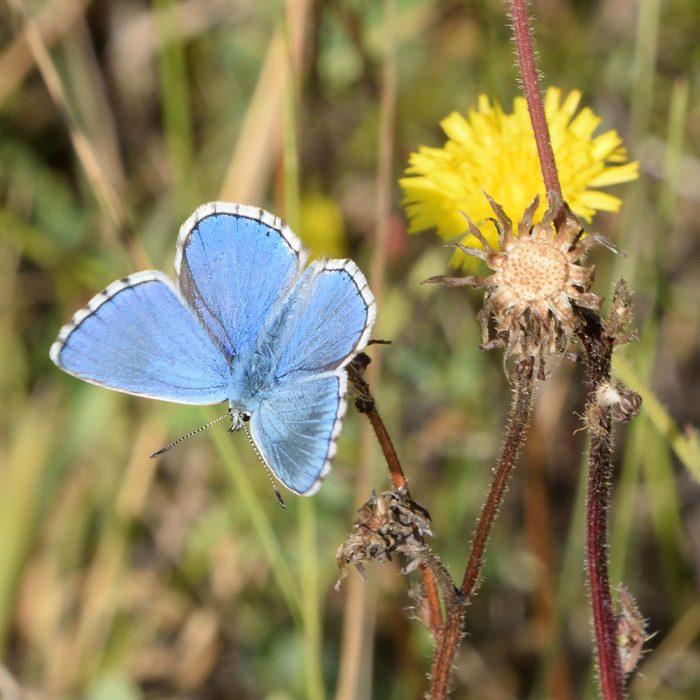 Himmelblauer Bläuling auf Wildblume