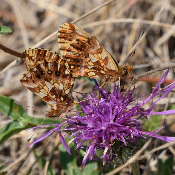 Magerrasen-Perlmutterfalter auf Flockenblume