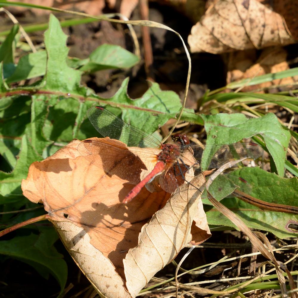 Libelle am Waldrand
