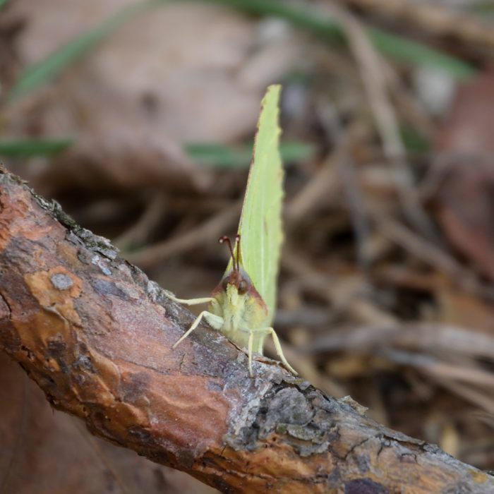 Zitronenfalter auf Waldboden