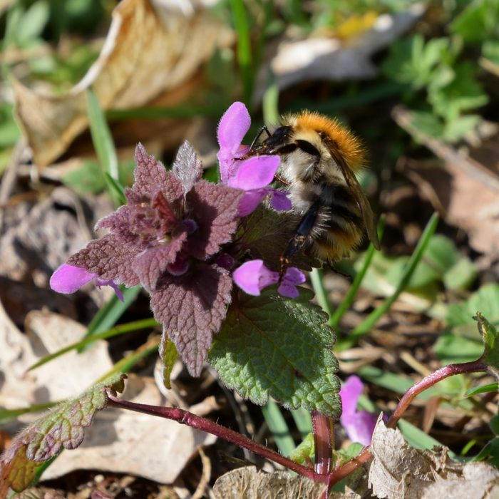 Hummel auf roter Taubnessel