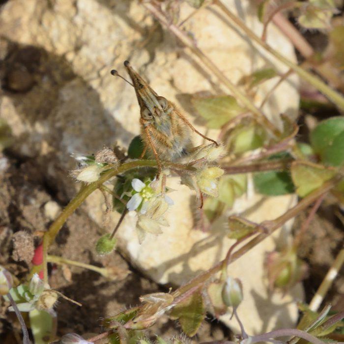 Kleiner Perlmutterfalter auf Ackerboden