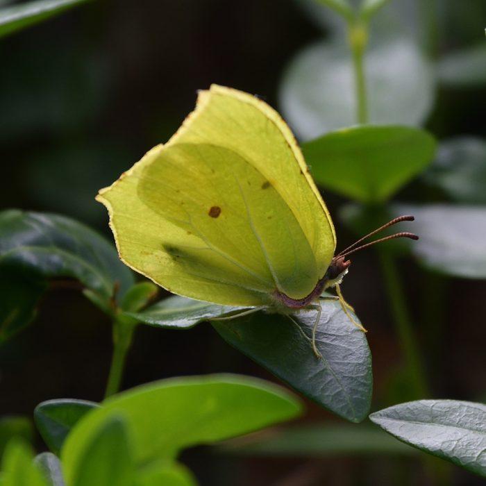 Zitronenfalter auf Immergrün