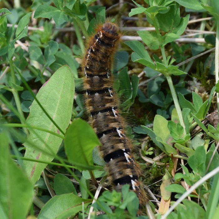 Eichenspinner Raupe auf Gras