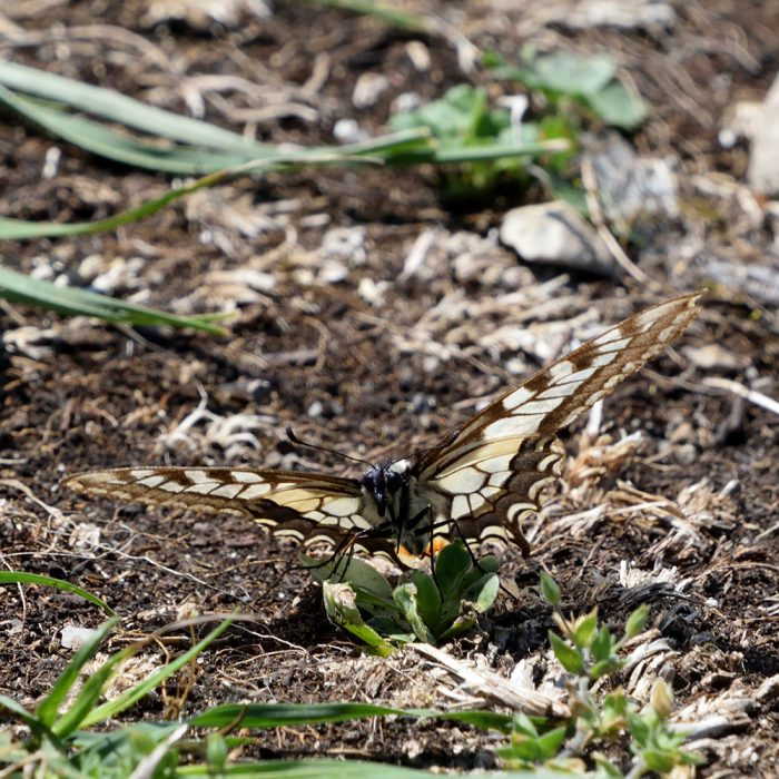Schwalbenschwanz auf Wiese