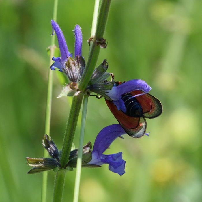 Bibernell-Widderchen (Zygaena minos/purpuralis) auf Wiesensalbei