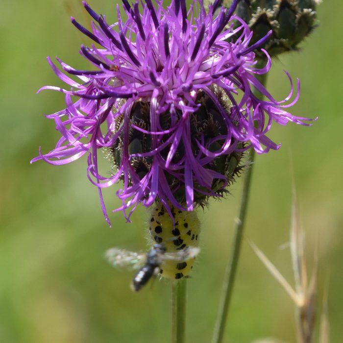 Sechsfleck-Widderchen Raupe auf Flockenblume