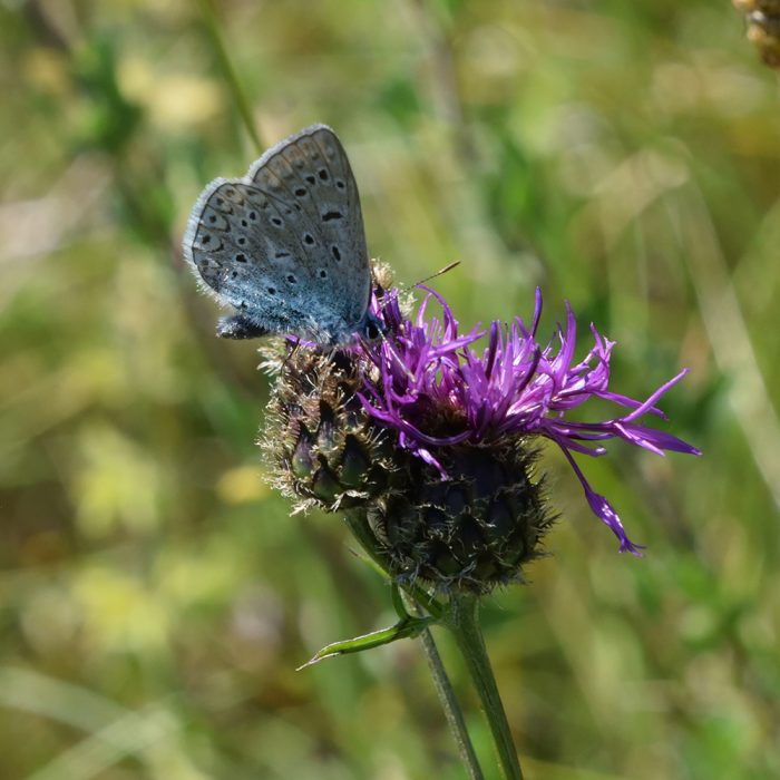 Hauhechel-Bläuling auf Flockenblume