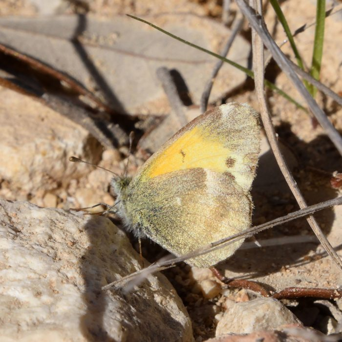 Dainty Sulphur am Boden (Bandera Co., Texas)