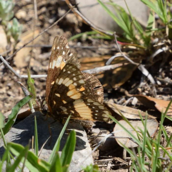 Bordered Patch am Boden (Bandera Co., Texas)