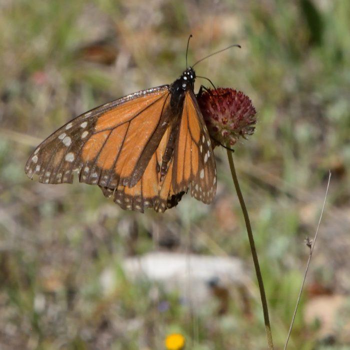 Monarch auf Strahlloser Kokardenblume (Bandera Co., Texas)