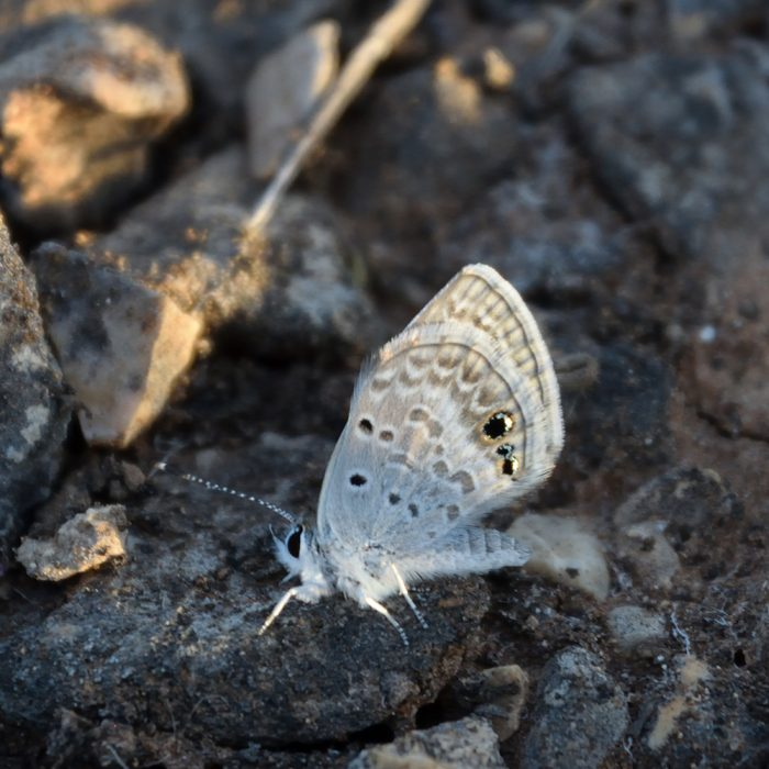 Reakirt's Blue am Boden (Val Verde Co., Texas)
