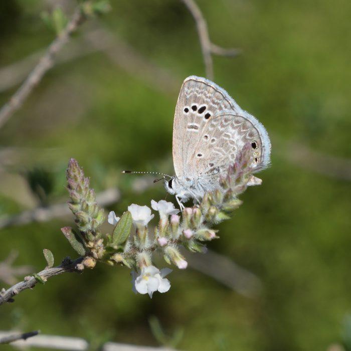 Reakirt's Blue auf Wildblume (Terrell Co., Texas)