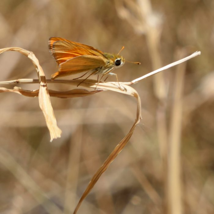 Orange Skipperling auf Gras (Brewster Co., Texas)