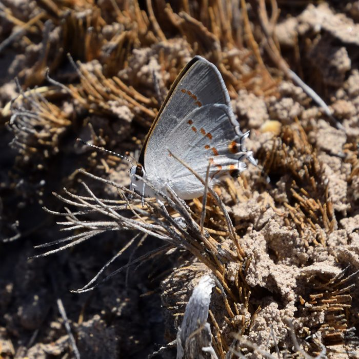 Big Bend Scrub-Hairstreak am Boden (Brewster Co., Texas)