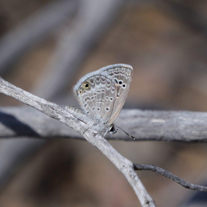 Reakirt's Blue auf Strauch (Brewster Co., Texas)
