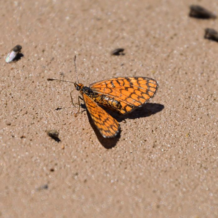 Tiny Checkerspot am Boden (Pecos Co., Texas)
