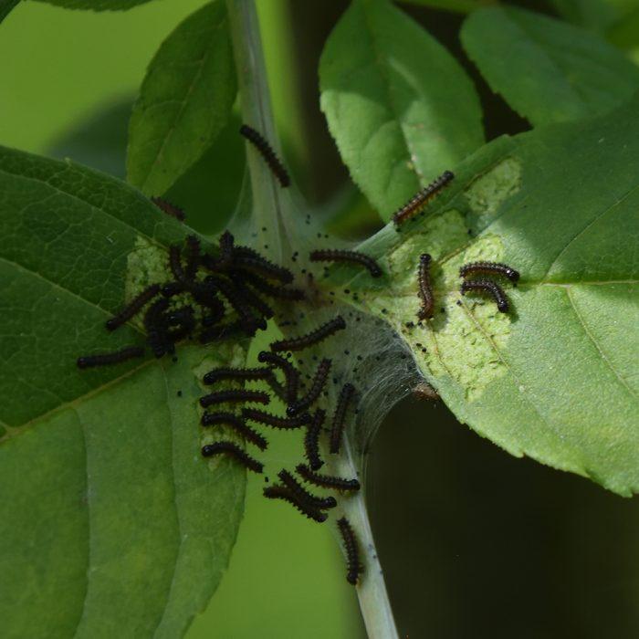 Eschen-Scheckenfalter Raupen auf Esche