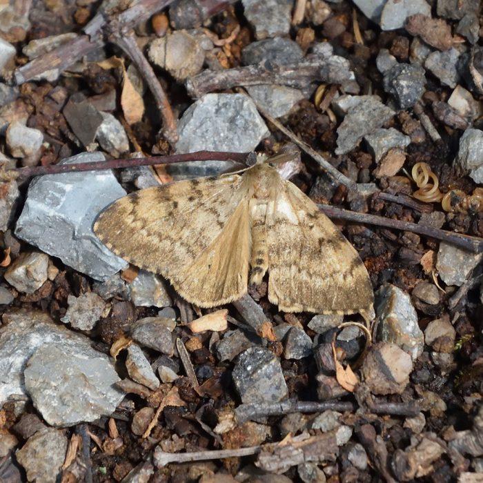 Schwammspinner auf Waldboden