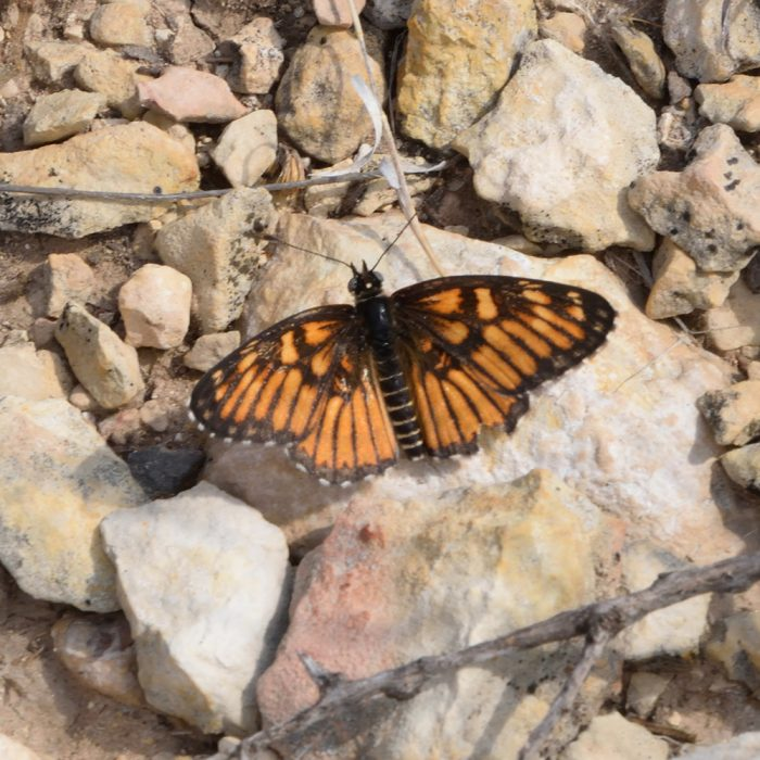 Chinati Checkerspot auf Stein (Pecos Co., Texas)