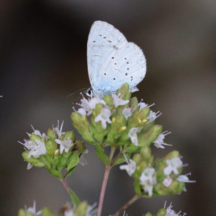 Faulbaum-Blauling auf Wildem Majoran