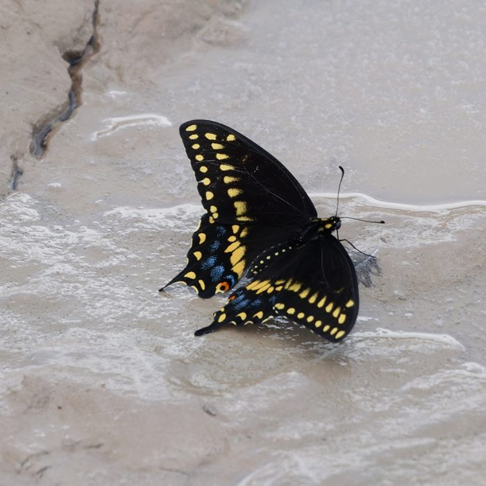 Black Swallowtail am Boden (Pecos Co., Texas)