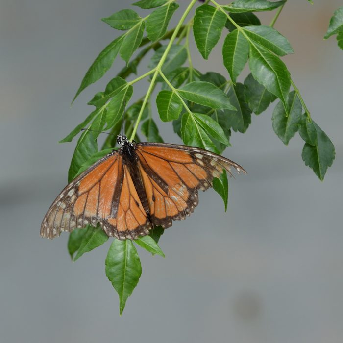 Monarch auf Baum (Pecos Co., Texas)