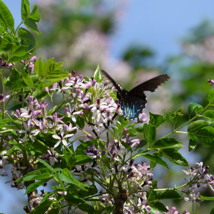 Pipevine Swallowtail auf Baum (Pecos Co., Texas)
