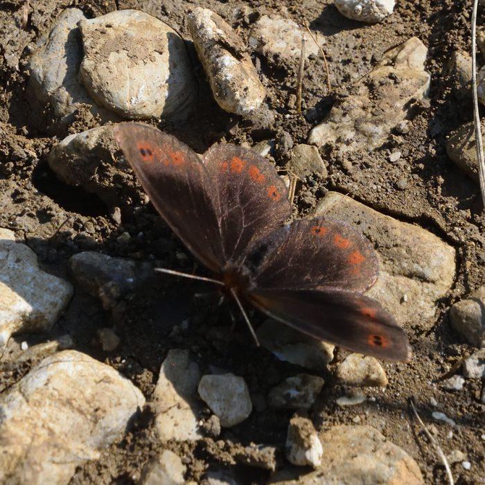 Quellen-Mohrenfalter (Erebia pronoe) auf Boden