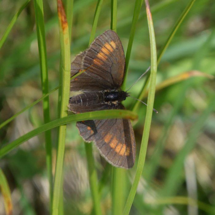 Unpunktierter Mohrenfalter (Erebia pharte)